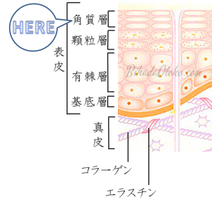 セラミド角質層