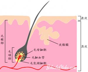 頭皮と髪の構造