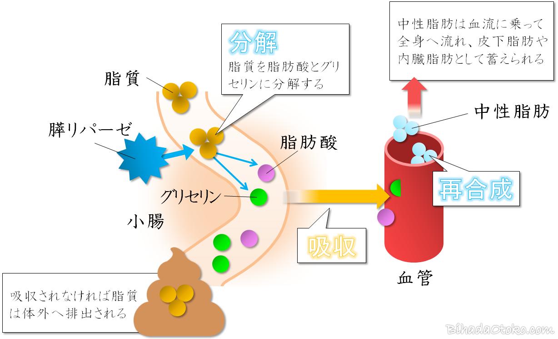 シボガード効果・口コミ・副作用!ターミナリアベリリカを専門家検証